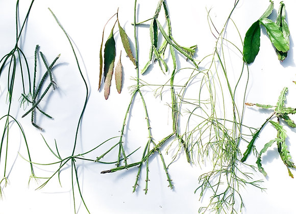 Rhipsalis Unrooted Cuttings Variety Pack