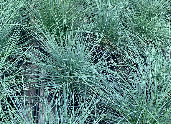 Elijah Blue Fescue Ornamental Grass