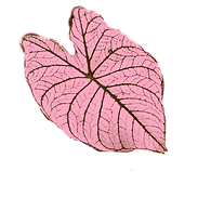 Check out our Caladium selection ♡