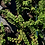 Thumbnail: Creeping Raspberry