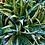 Thumbnail: Aloe 'White Fox'