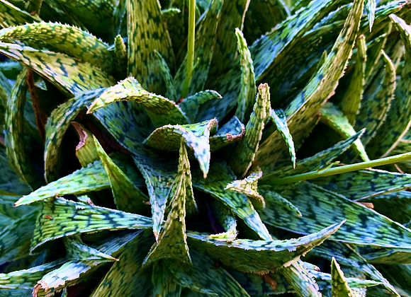 Aloe 'White Fox'