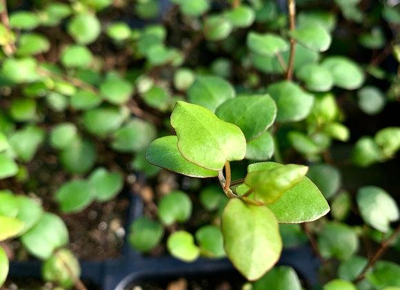 Muehlenbeckia complexa 'Big Leaf' Creeping Wire Vine