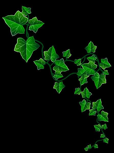 Vine_Ivy_Decoration_PNG_Clipart_Image.pn