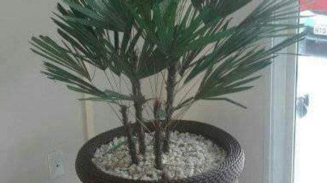 Palmeira Rafia Preservada