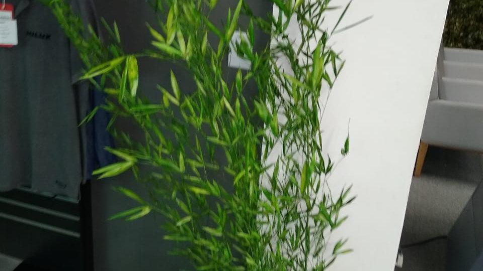 Bambuzinho Preservado