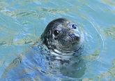 atlantic-grey-seal-janet-baxter.jpg