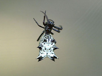 Spined Micrathena Spider