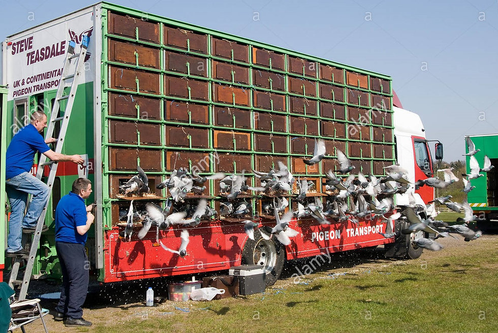 pigeon-racing-start-of-the-race-release-