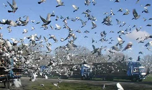 pigeon racing release.jpg