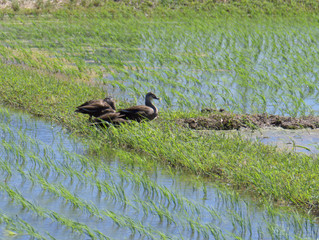 梅雨の晴れ間で水鳥が楽しそう