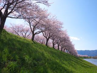 桜並木がとても綺麗 海津市