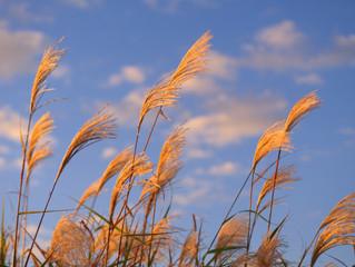秋の見頃 黄金色に輝くススキが綺麗