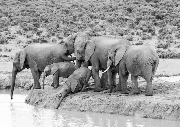 Elefantes agua.jpg