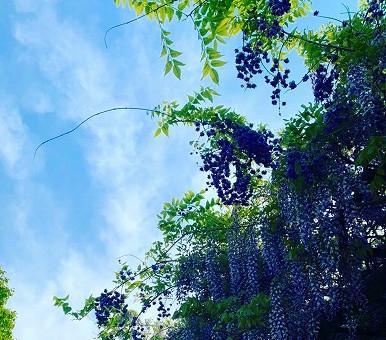 藤棚の藤がキレイに咲いていました😊