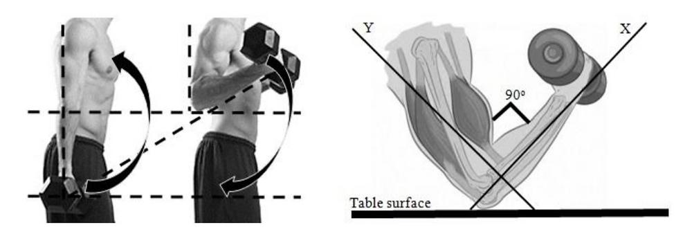 mouvement de flexion du biceps