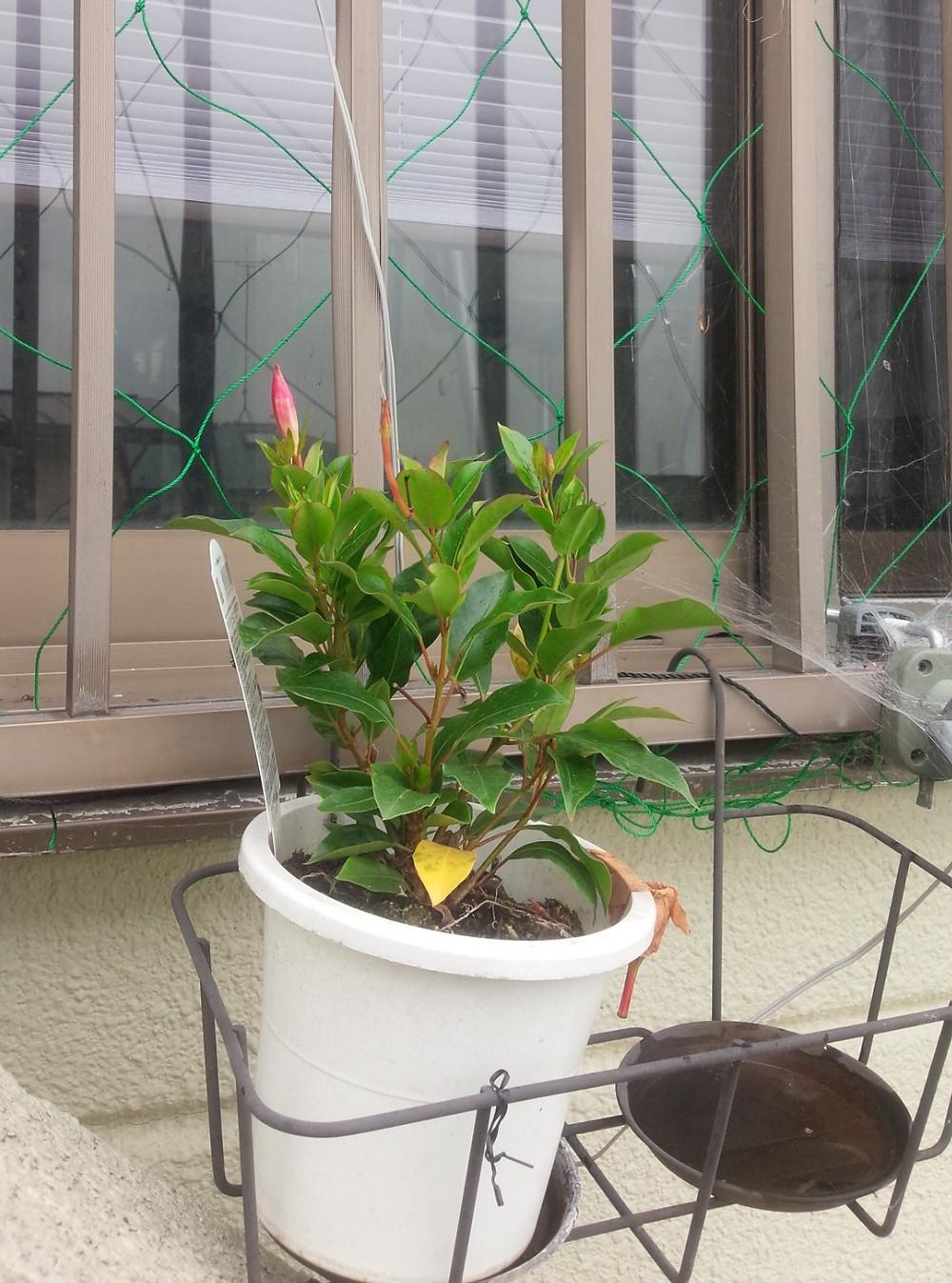 最初に花が咲いた鉢