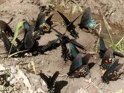 Swallowtails