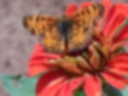 MylittaCrescent Phyciodes mylitta.jpg