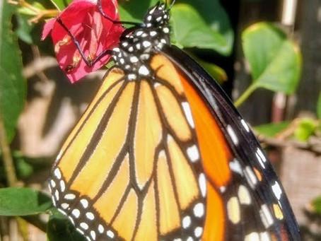 Monarchs Denied Endangered Status:             We're Relieved