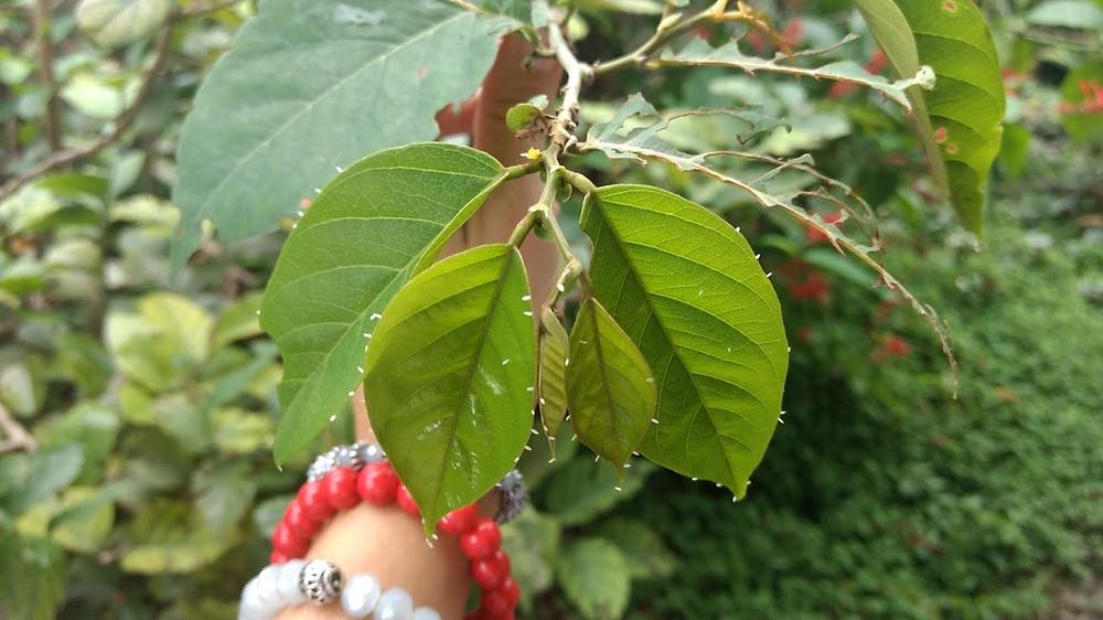 Dalbergia ecastaphyllum, Coin Vine