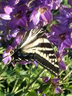Pale Swallowtails