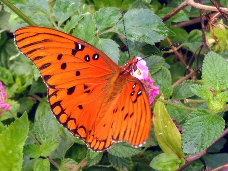 The Fancy Gulf Fritillary