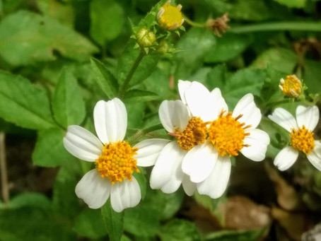 Florida Butterfly Weeds in Your Yard