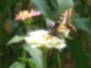 Anise Papilio zelicaon.jpg