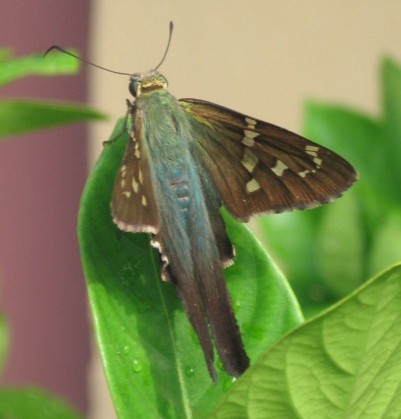 Longwing Skipper