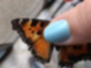 CaliforniaTortoiseshellNymphalis califor
