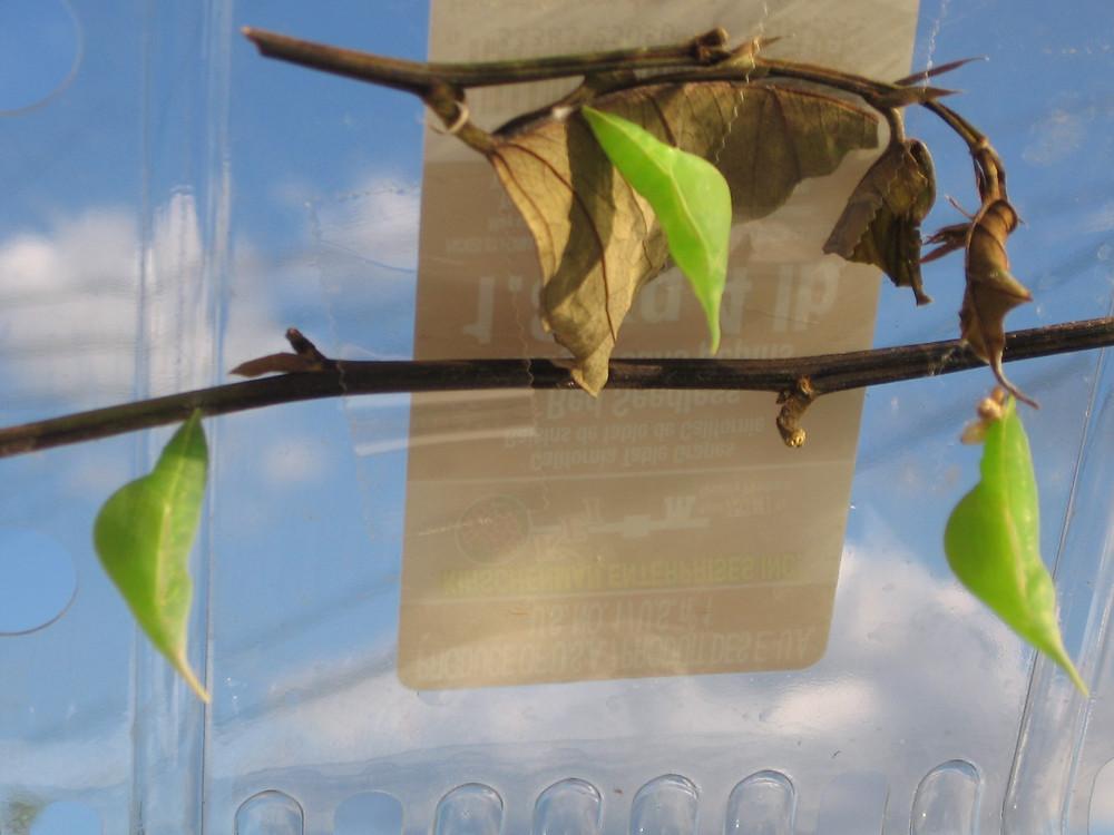 Chrysalids for Statira Sulphur butterflies