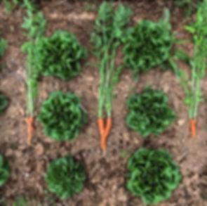 carrot hugs lettuce.jpg