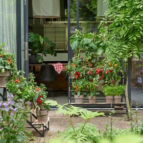 Tomaten, Auberginen, Peperoni: Die Langsamen zuerst!