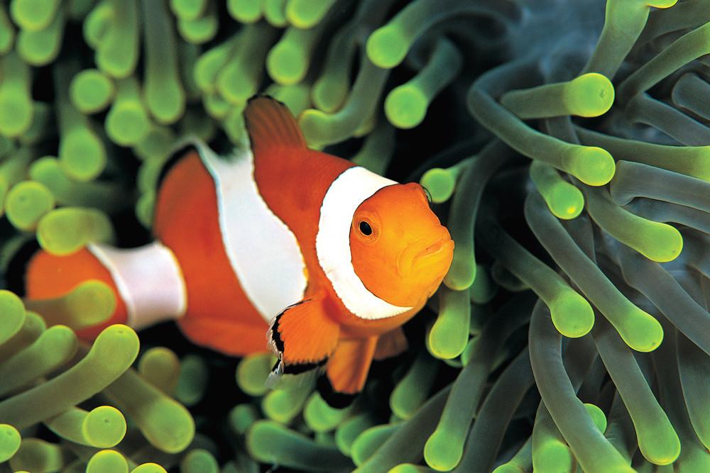 דג שושנון בתוך שושנת ים