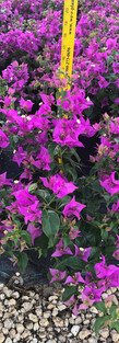 Purple Bouginvillea