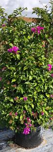 Purple Bougainvillea 15gl