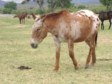Image of the brown donkey which Monique rode in her mule labyrinth in a pasture.