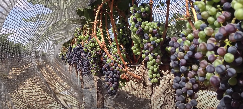 Vineyards in the Negev with grape netting