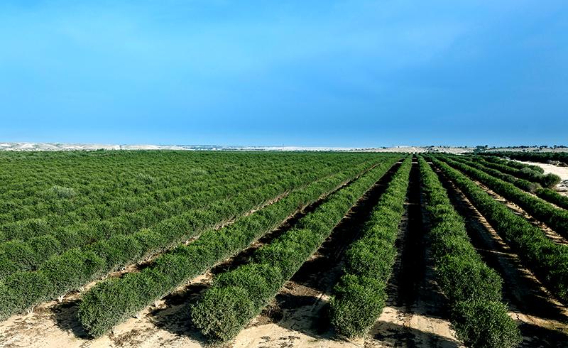 Jojoba fields in the Negev, Israel - Jojoba Israel company