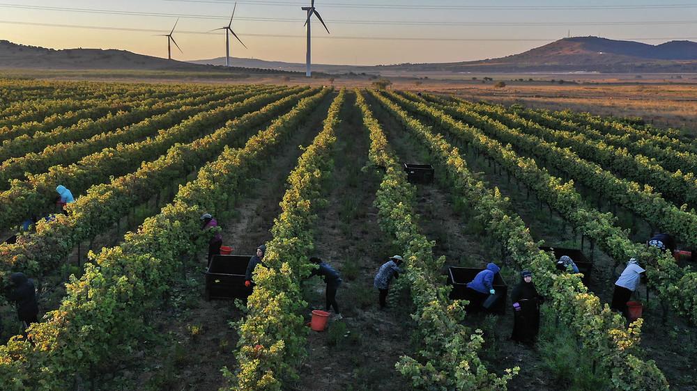 Vineyards in Golan Heights