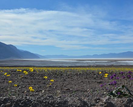 death valley flower.jpg