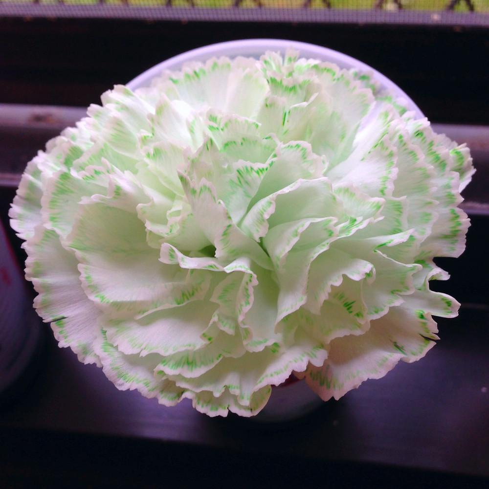 Dyed carnation