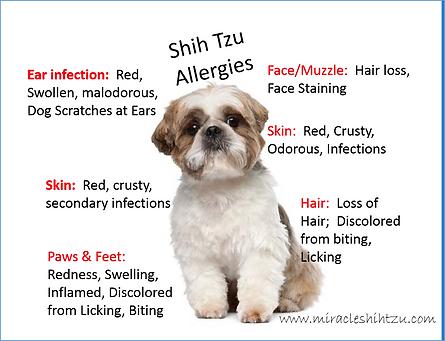 Shih-Tzu-allergies.png