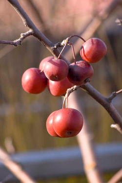 Malus 'Red Sentinel' (fruit)