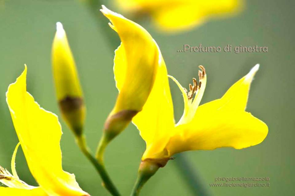 Spartium junceum (Ginestra)