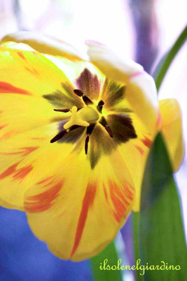 Tulipa L.
