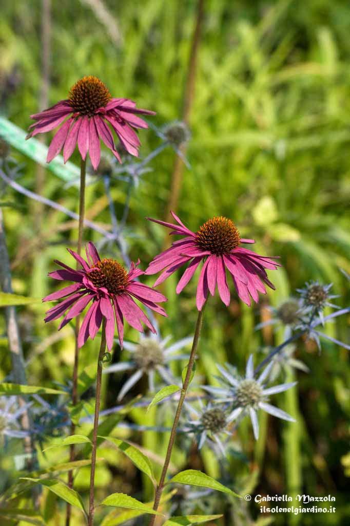 Echinacea purpurea 'Hot Summer'