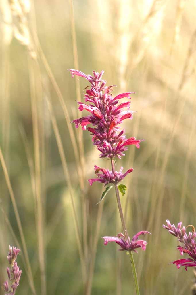 Agastache hybrida 'Red Fortune'