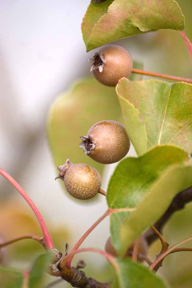 Pyrus calleryana 'Chanticleer' fruit